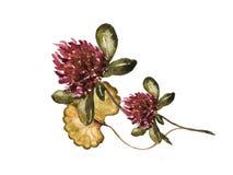 与三叶草和您的文本,水彩例证的花卉框架 免版税库存照片