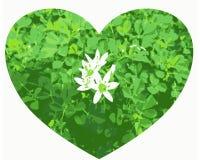 与三叶草积土的心形的在白色背景的特写镜头和花 图库摄影