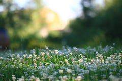 与三叶草花的背景  免版税库存照片