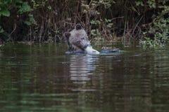与三文鱼的北美灰熊崽 库存照片
