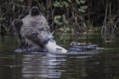 与三文鱼的北美灰熊崽 免版税库存照片