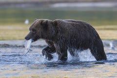与三文鱼的棕熊在嘴 免版税库存图片