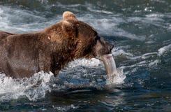 与三文鱼的阿拉斯加的棕熊在其嘴 免版税库存照片