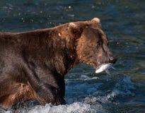 与三文鱼的阿拉斯加的棕熊在其嘴 图库摄影