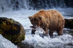 与三文鱼的阿拉斯加的棕熊 免版税库存照片