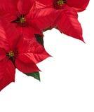 与三红色一品红花的圣诞节边界在角落 库存照片