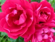与三美丽的热的洋红色玫瑰的精美典雅的花卉背景开花特写镜头 图库摄影