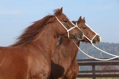 与三角背心的两匹栗子母马 免版税库存图片