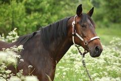 与三角背心的美丽的棕色母马 免版税库存图片