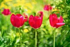 与三郁金香的五颜六色的风景 库存图片