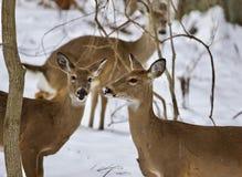 与三头野生鹿的美好的背景在多雪的森林里 免版税库存照片