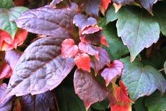 与上升在墙壁上的五颜六色的叶子的常春藤属 库存图片