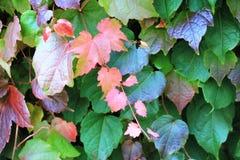与上升在墙壁上的五颜六色的叶子的常春藤属 免版税库存照片