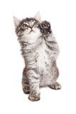 与上流五爪子的逗人喜爱的小猫 免版税库存照片