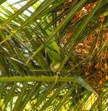 与下来垂悬和观看从棕榈树的面孔的一只小的鹦鹉在白天 免版税库存照片