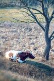 与下母牛的农田风景 免版税图库摄影