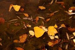 与下落下来的黄色的秋天练习曲在水离开 库存图片