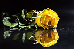 与下落的一朵黄色玫瑰在蓝色背景 库存图片