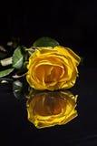 与下落的一朵黄色玫瑰在蓝色背景 免版税库存照片