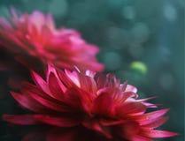 与下落的两朵红色大丽花花在背景的雨以后与bokeh的一张明信片的 免版税图库摄影