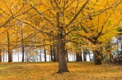 与下落的叶子弗吉尼亚状态树木园的银杏树树 库存图片