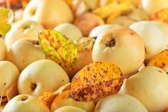 与下落的叶子的成熟水多的苹果 免版税库存图片