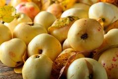 与下落的叶子的成熟水多的苹果 免版税库存照片