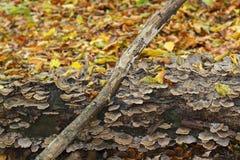 与下落的叶子的长得太大的蘑菇树干在秋天 免版税库存照片