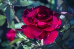 与下落的明亮的红色玫瑰在雨以后 库存照片