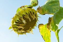 与下落的瓣的成熟向日葵,特写镜头, 免版税图库摄影
