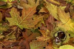 与下落的秋叶和栗子的五颜六色的明亮的背景 免版税图库摄影
