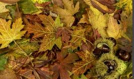 与下落的秋叶和栗子的五颜六色的明亮的背景 免版税库存照片