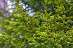 与下落的第一雪的绿色云杉的分支 免版税库存图片