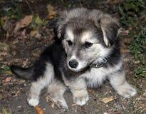 与下落的衣领的黑白小的小狗离开 库存照片