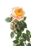 与下落的黄色和桃红色玫瑰在白色 免版税库存图片