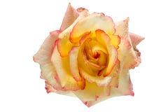 与下落的黄色和桃红色玫瑰在被隔绝的白色背景 库存照片