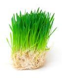 与下落露水的发芽的种子燕麦 免版税库存照片
