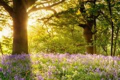 与不可思议的早晨日出的会开蓝色钟形花的草木头 库存图片