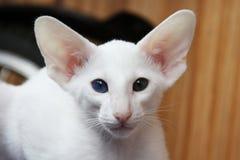 与不同的颜色的眼睛的白色东方猫 免版税图库摄影