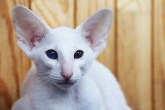 与不同的颜色的眼睛的白色东方猫 库存照片