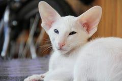 与不同的颜色的眼睛的白色东方猫 免版税库存图片