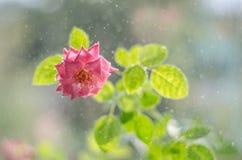 与与叶子的软的桃红色玫瑰在小雨下 图库摄影