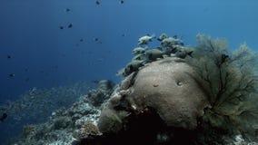 与丑角Sweetlips和驼背红鲷鱼4k的珊瑚礁 股票视频