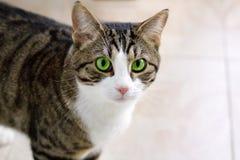 与专心嫉妒手表的宠物猫谨慎和 免版税库存照片