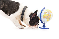 与世界地图的狗 库存照片