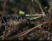 与东部Forktail蜻蜓的Sundew 免版税库存图片