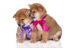 与丝带的逗人喜爱的shiba inu小狗 免版税图库摄影