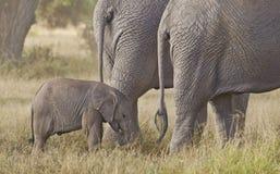 与两个女性亲戚的大象小牛 免版税图库摄影