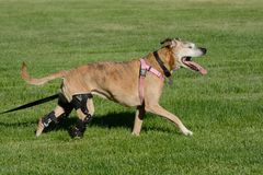 与两个矫正的括号的愉快的活跃狗 免版税库存图片