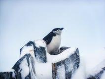 与两个年轻人的一只Chinstrap企鹅 免版税库存图片